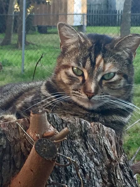 Sweet feral Cat Lovers Outdoors Animal Themes Furry Feline One Animal Close Up Eyeemphoto Young No People Eyeemphotography Loving Green Eyes Friendly Tree Stump Laying Feral Cat Striped EyeEm StillLifePhotography The Week On EyeEm