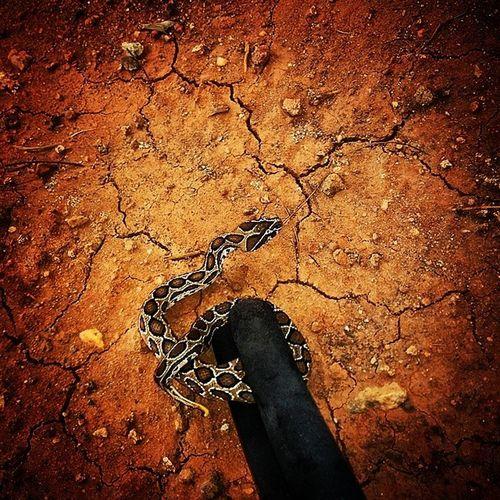 Python Snakencounter Babypython Nexus5photography