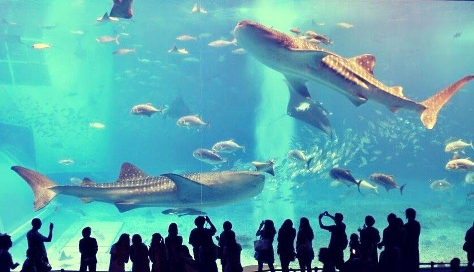 Churaumi Aquarium Okinawa Trip Shark