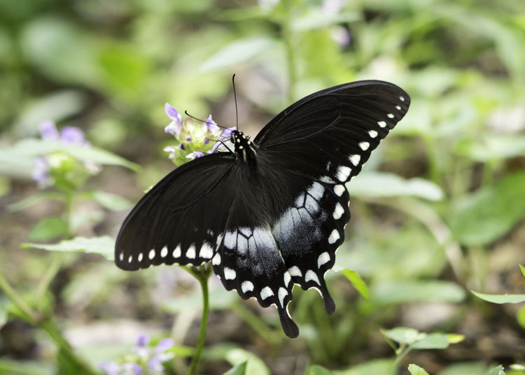 Beauty In Nature Butterfly Butterfly - Insect Close-up Flowering Plant Nature Outdoors Pollination