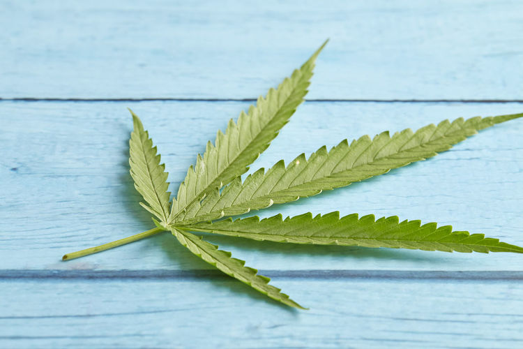 Cannabis Leaf Table Marijuana Hemp Background Wood Health Green Weed Wooden Plant Medicine Nature Herb Medical Natural Old Legal Culture Ganja Drug Narcotic Leaves Herbal Space Hashish Grass Medicinal Illegal Oil CBD Legalize Marihuana Joint Copy Sativa Hash Closeup Retro Vintage CBD Cbn Thc Text Plant Part Green Color Close-up No People Selective Focus Indoors  Beauty In Nature Focus On Foreground Wood - Material Still Life Freshness Studio Shot Day Growth Pattern Blue Background