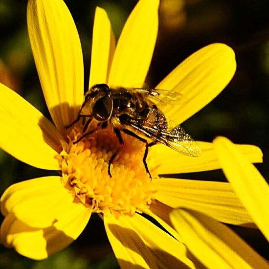 HoneyBee Macro Photography Colorful Sunshine WestCoast La Mesa Mount Helix