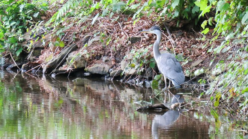 Animals In The Wild Water Animal Themes Animal Wildlife Bird One Animal Nature Day Outdoors No People Lake Plant Gray Heron Beauty In Nature Perching Heron Bird Heron On The Canal