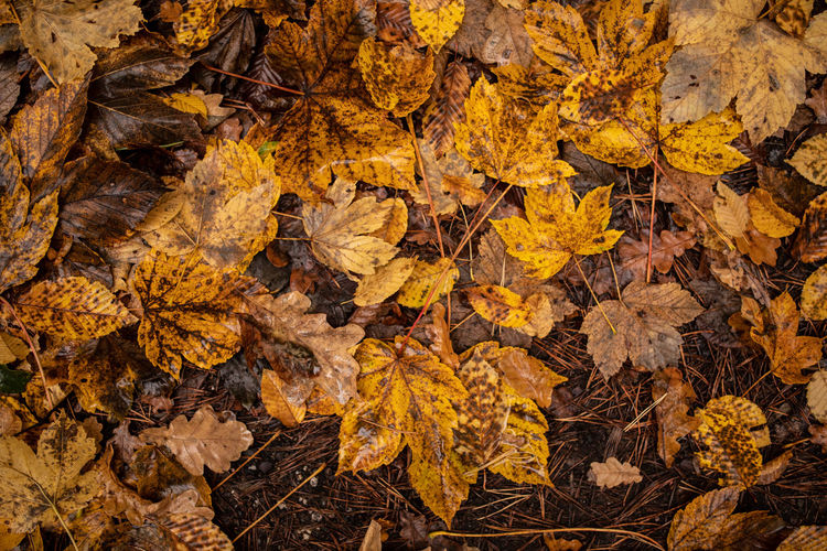 Autumn Leaf Change Plant Part Leaves Yellow Nature Dry No People Day High Angle View Directly Above Land Close-up Full Frame Falling Beauty In Nature Backgrounds Brown Autumn Collection Maple Leaf Outdoors Natural Condition Fall