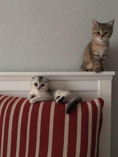 Kitten Cats Scottishfold