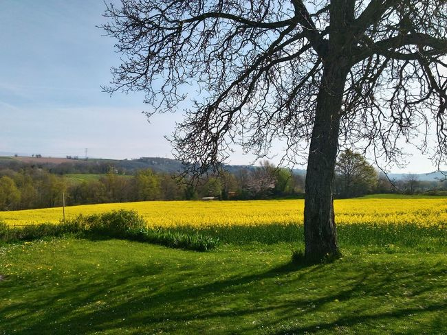 Beauty Nature Beauty In Nature Nature Printemps Jaune Jaune🌻 Yellow Flower Tree Flower Rural Scene Agriculture Yellow Oilseed Rape Field Sky Cultivated Land Cultivated Plantation Farm