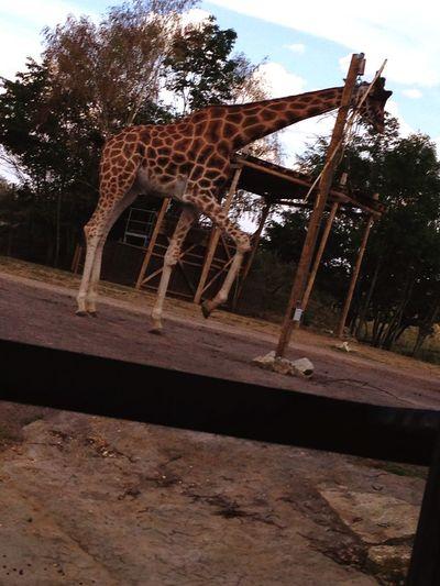 Safarigiraffe