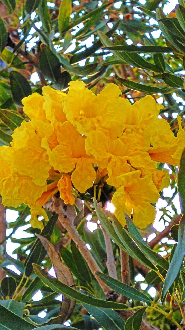 flower, growth, nature, yellow, tree, beauty in nature, freshness, fragility, day, no people, outdoors, plant, leaf, hanging, close-up, flower head