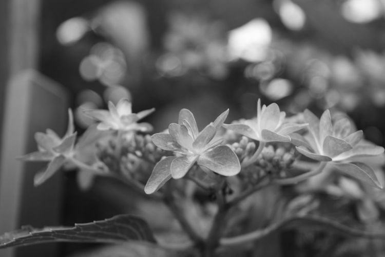 Flower Hydrangea EyeEm Nature Lover In Bloom Monochrome Bokeh Eyeemmonochrome