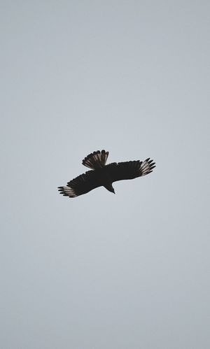 Animals In The Wild Animal Wildlife Flying Vertebrate Bird One Animal Sky Spread Wings Animal Themes Animal Copy Space Clear Sky Low Angle View Mid-air Motion No People Nature Outdoors Day Freedom Flight Eagle