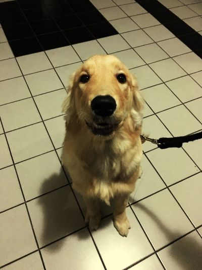 사랑하는 마음이 Goldenretriever 개마음 Golden Retriever Dog