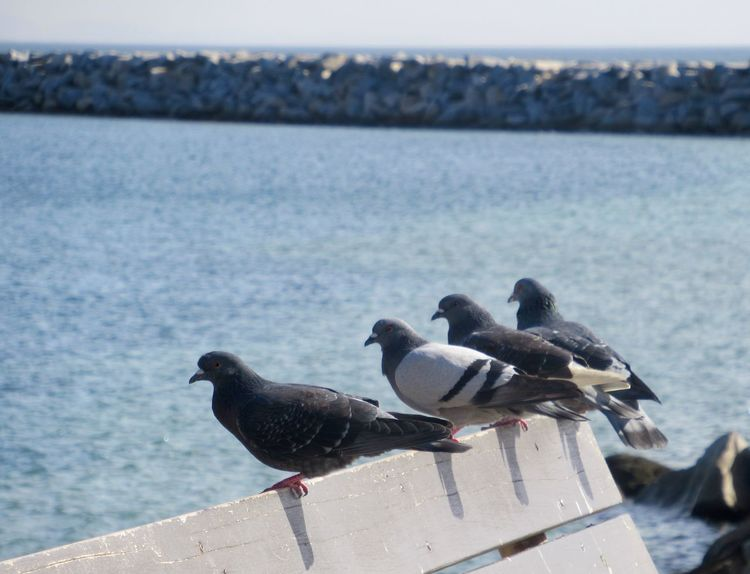 Four pigeons perched on bench on coastline at Dana Point in California Bench Beach California Dana Point, Ca Avian Ocean Humorous Animals Four Pigeon Water Bird Animals In The Wild Animal Themes Nature Sea Animal Wildlife Day Outdoors Perching No People Horizon Over Water