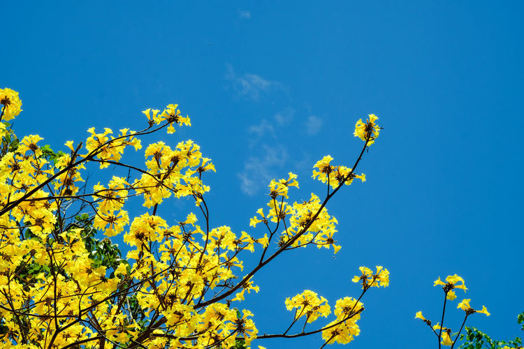 Low angle view of yellow flowering plants against blue sky
