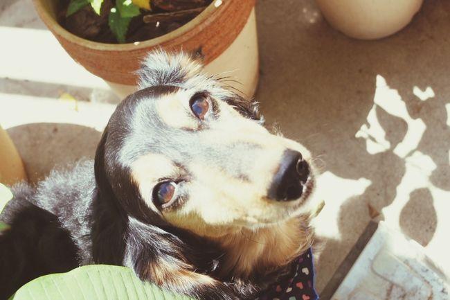 まだまだ暑いよ? ミニチュアダックスフント I Love My Dog Summertime