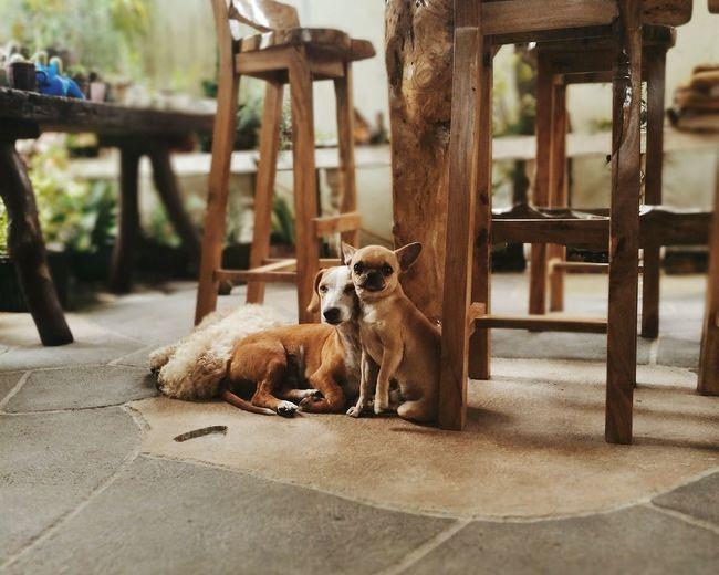 Dog Love Dachshund Chug Mixedbreed Mixed Breed Dog EyeEmNewHere Pets Dog Young Animal Animal Themes Puppy Paw Shih Tzu Animal Leg Lap Dog