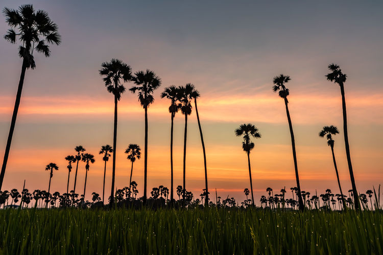 Sunset at Dong Tan, Pathum Thani Sky Sunset Plant Beauty In Nature Growth Scenics - Nature Tree Tranquility Palm Tree Nature Orange Color Tranquil Scene Silhouette Land Cloud - Sky Tropical Climate Field Outdoors No People Idyllic Coconut Palm Tree Romantic Sky