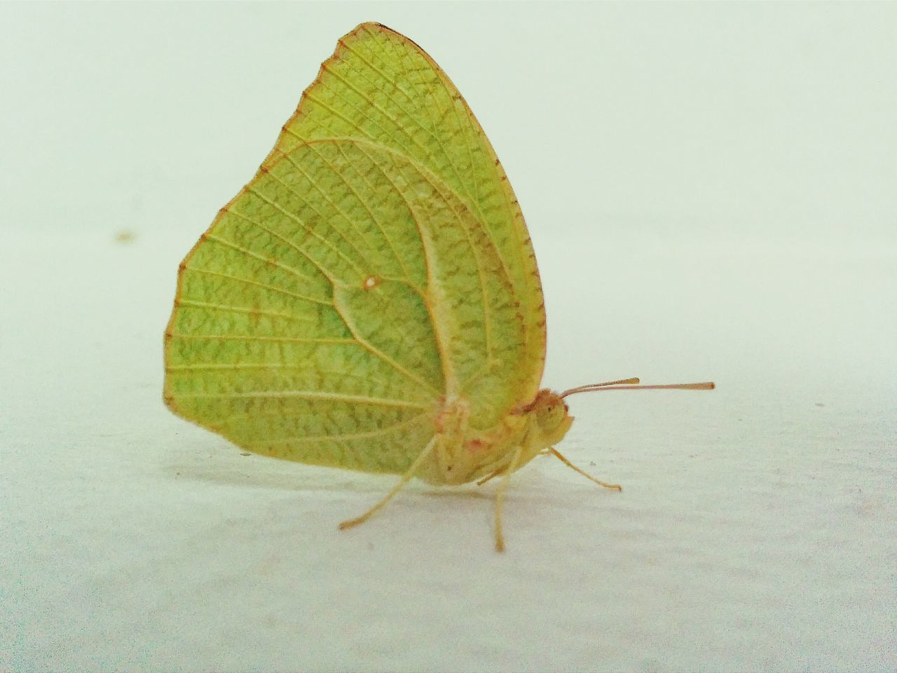 Close-Up Of A Green Butterfly Over White Background