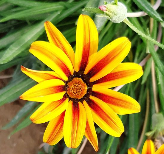 Egypt Hurgada  Walking Around Garden Flowers Flower Head Flower Yellow Petal Pollen Close-up Blooming Plant