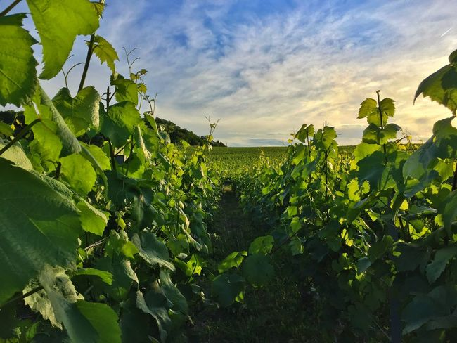Agriculture Beauty In Nature Champagne Grapes Champagne Plants Close-up Cloud - Sky Day Field Freshness Green Color Growth Leaf Nature No People Outdoors Plant Rural Scene Scenics Sky Sunlight Tree Vine - Plant