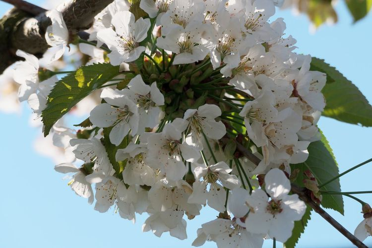 Flower Flowering Plant Plant Growth Freshness Fragility Beauty In Nature Vulnerability  Blossom Tree White Color Close-up Petal Low Angle View Springtime Sky Nature Day No People Branch Flower Head Cherry Blossom Outdoors Bunch Of Flowers