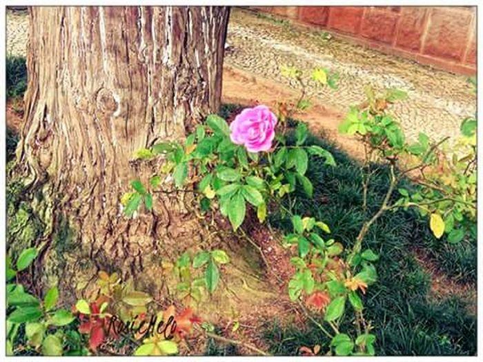 """""""Uma Rosa inda é uma Rosa"""" LoveFlowers🌸 Loveroses Nature EyeEm Nature Lover Amoflores Belezanatural Petrópolis Canteirodeflor"""