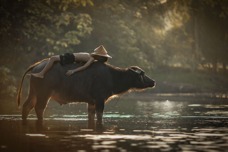 Side View Of Shirtless Boy Lying On Water Buffalo In Lake