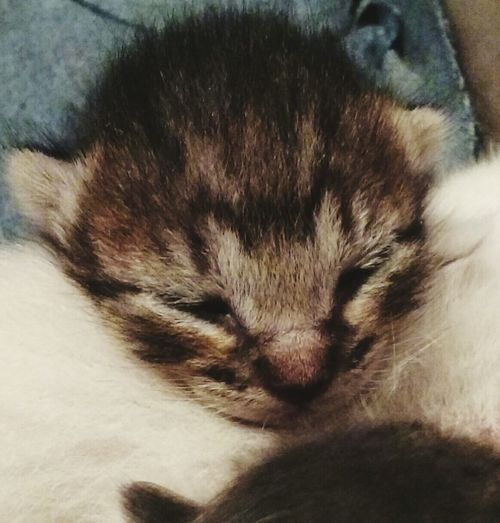 Baby Kitten Two Weeks Old New Life Begins Baby Kitty Sleeping !♥ Growing Eyes Shut NewBorn Photography Newborn Kittens New Born Animal Kitty Love Close Up Photography Taking Photos Android Photography Enjoying Life Showcase March Things I Like