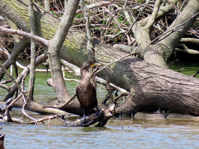 Cormorant perched on a bare wooden tree limb entangled bare tree branches water ripples birds of EyeEm birdwatching beauty in nature outdoors Tree Animal Themes Nature One Animal No People