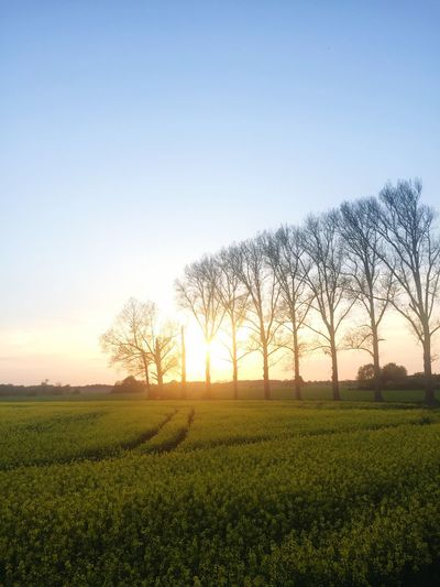 Plant Sky Field Growth Beauty In Nature Landscape Scenics - Nature Tree Tranquility Sunset Nature Environment Crop  Tranquil Scene Agriculture Land Rural Scene Green Color No People Clear Sky
