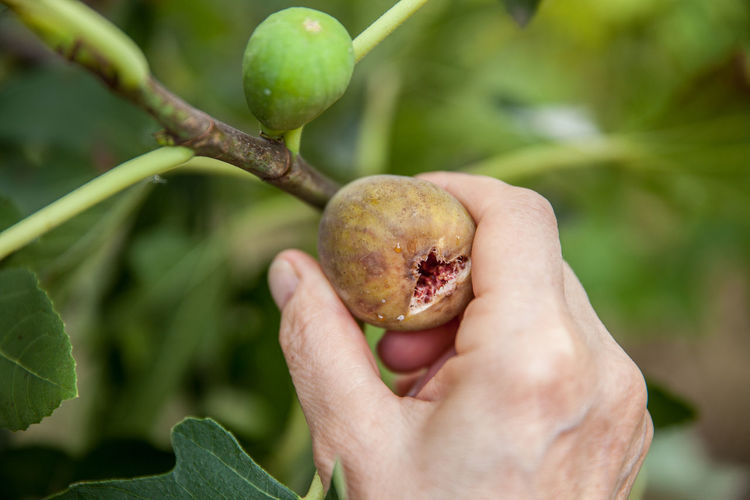 Close-Up Of Cropped Hand Picking Fig From Branch
