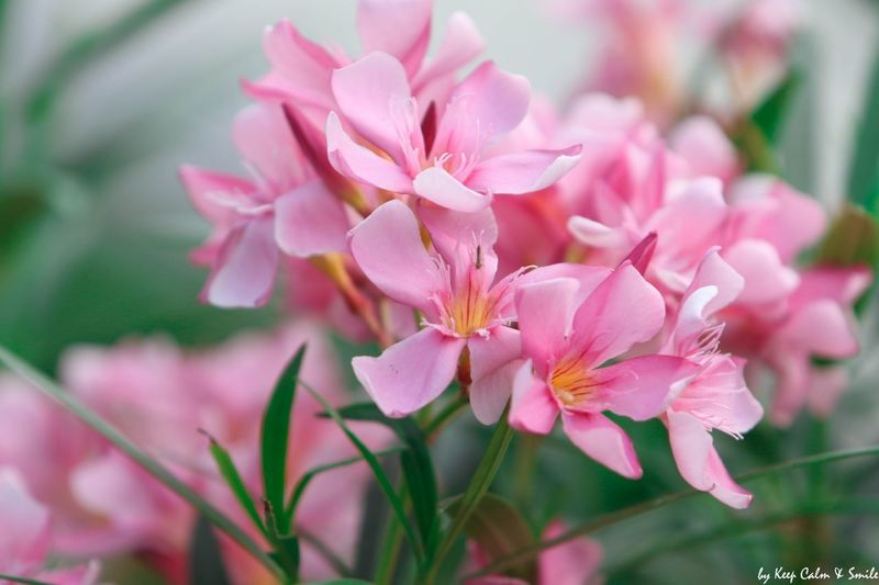 pink flowers,Valentine's Flower Head Flower Tree Defocused Springtime Pink Color Beauty Petal Blossom Closing Cherry Blossom Plant Life Botany Pale Pink Stamen Flowering Plant Day Lily