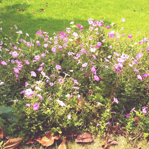 Flower Nature Growth Field Plant Beauty In Nature Grass Freshness Flower Head Blooming Pink Color High Angle View Day No People Outdoors