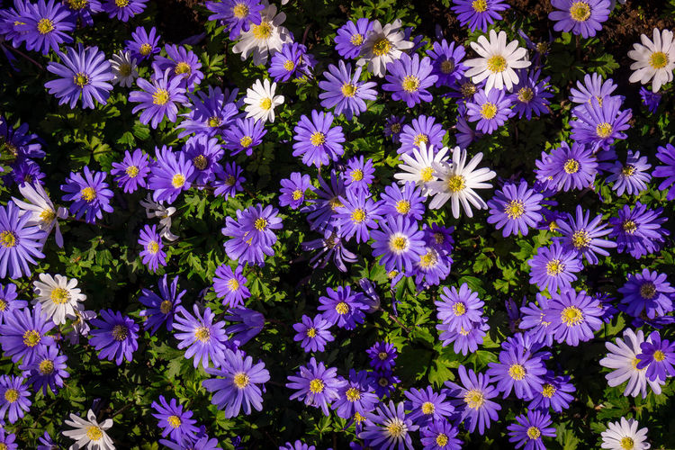 High angle view of purple flowers in park