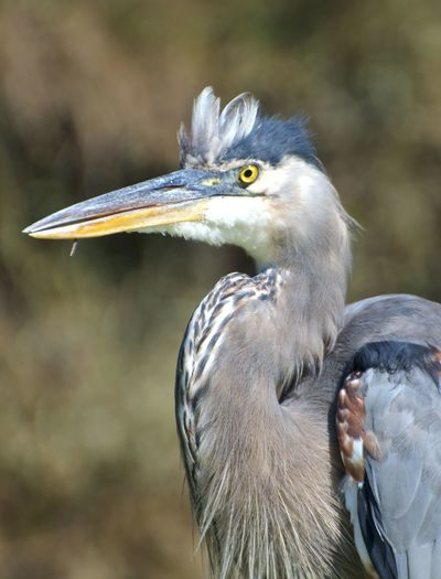 Skokie Lagoons Tricolored Heron Animal Animal Body Part Animal Head  Animal Neck Animal Themes Animal Wildlife Animals In The Wild Beak Beauty In Nature Bird Close-up Day Focus On Foreground Heron Nature No People One Animal Outdoors Profile View Side View Vertebrate Water Bird