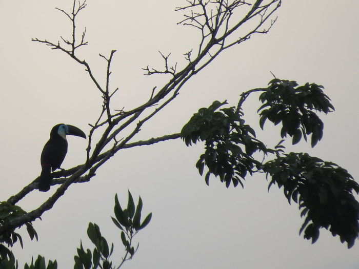 Amazon Amazon Rainforest Amazon River Amazonas Animal In The Wild Beauty In Nature Bird Bird Photography Brazil Nature At Its Best Nature Up Close Perching Silhouette Toucan