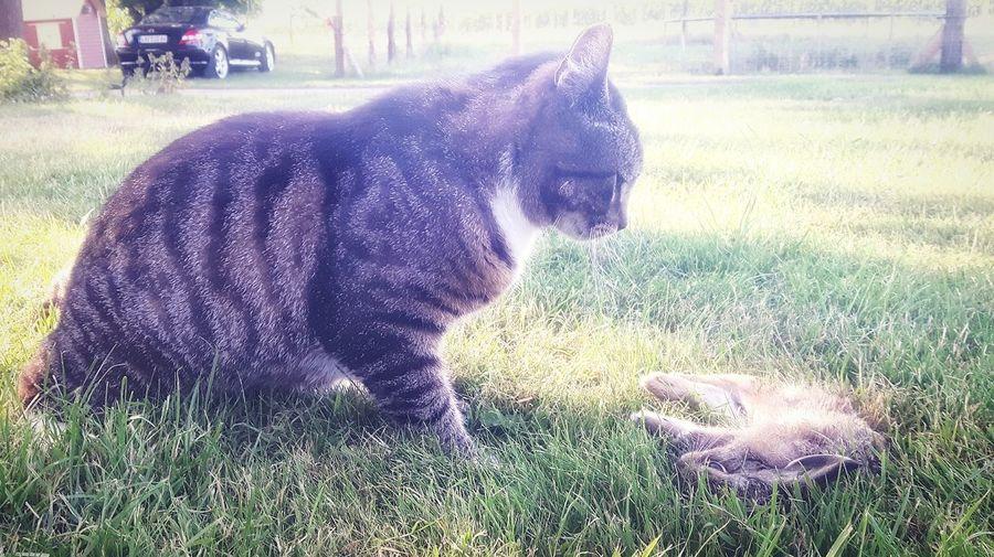 Pauli catched a young European Rabbit.. Cat Cats Of EyeEm Cat Hunting  Pets Dog Field Sitting Grass Pet Equipment Pet Collar Pet Clothing