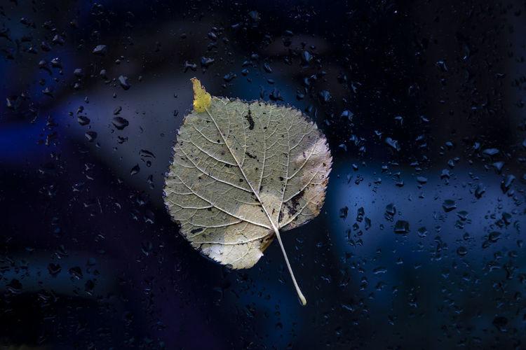 Close-up of dry leaf on wet window during rainy season