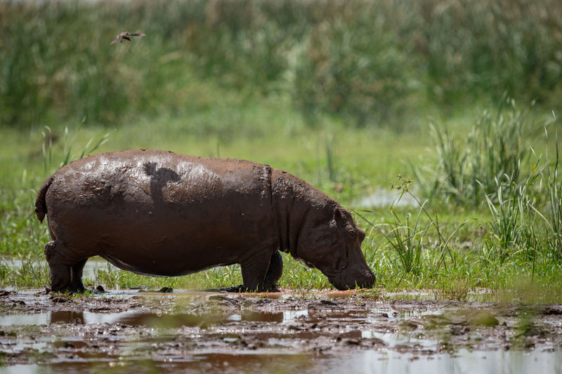 Hippopotamus Standing At Lakeshore