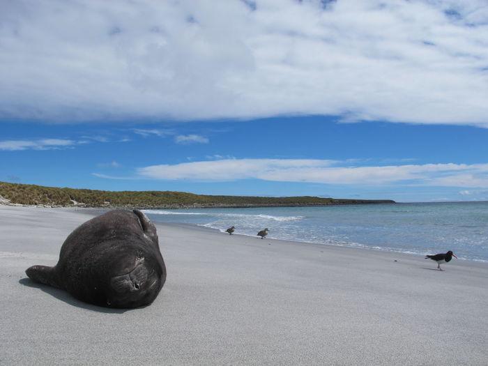 Seal sleeping at beach against cloudy sky