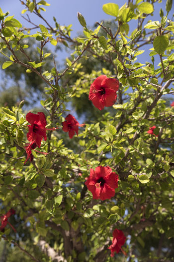 Hibiscus Beauty In Nature Close-up Day Flower Flower Head Flowering Plant Flowers Focus On Foreground Fragility Freshness Greece Green Color Growth Hibuscus Inflorescence Leaf Nature No People Outdoors Petal Plant Plant Part Red Summer Vulnerability