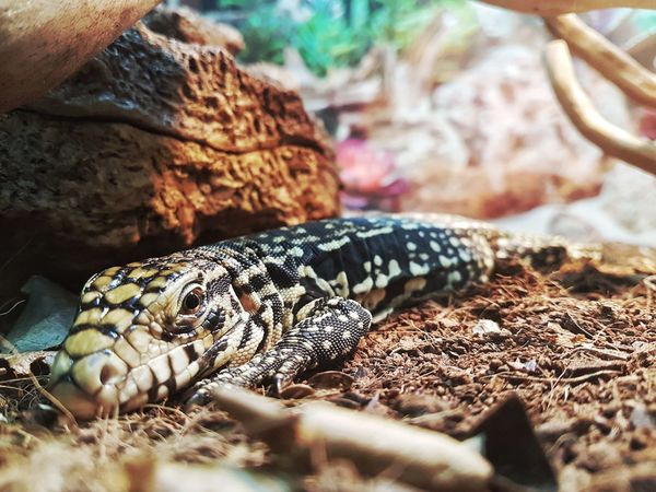 tegu from Argentina Tupinambis Animal Themes One Animal Animals In The Wild Reptile Animal Wildlife Day Nature No People Close-up Outdoors UnderSea Reptile Reptile Photography Nationalgeographic Tegu EyeEmNewHere Nature