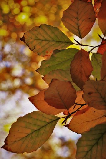 Autumn Beauty In Nature Beech Beech Forest Beechleaves Check This Out Close-up EyeEm Gallery Focus On Foreground Growth Hayedo Leaf Leaves Monte Abantos Nature No People Outdoors Tree First Eyeem Photo What Who Where Exploring Style