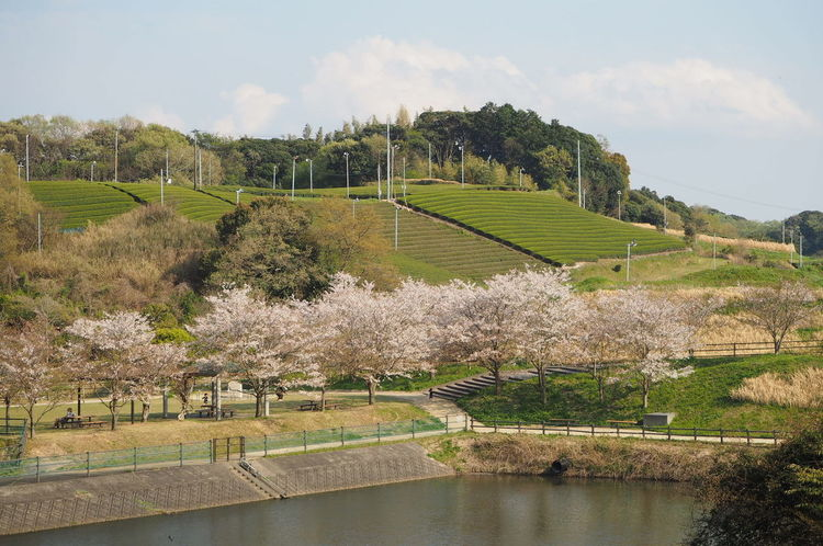 Sakura & Tea field Sakura2017 Sakura Cherry Tree Cherry Blossoms No Edit/no Filter Flower Plant Nature Beauty In Nature Mirrorless Japan Rural Scenes Rural Landscape
