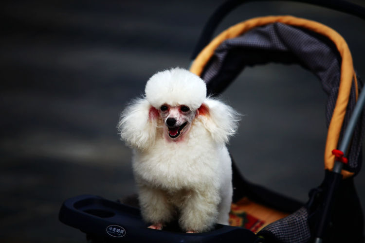 Close-up of cute dog in pram