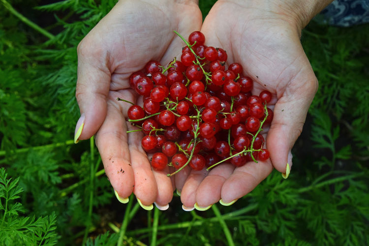Handful of mellow red currant berries in woman hands over green grass Berries Berry Close-up Crop  Currant Fresh Freshness Grass Green Color Handful Hands Harvest Healthy Eating Holding Nature Organic Red Red Currant Redcurrant Ripe Season  Summer Summertime Woman