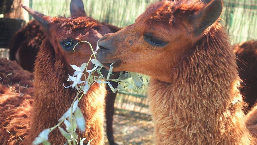 View of llamas eating leaves