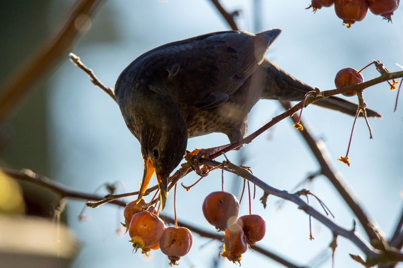 Merle Focus On Foreground Bird No People Tree Animal Themes Food Food And Drink Nature Outdoors Merl Merle Amsel Bird Bird Photography Animals In The Wild Branch Animal Wildlife Perching Low Angle View Day Beauty In Nature