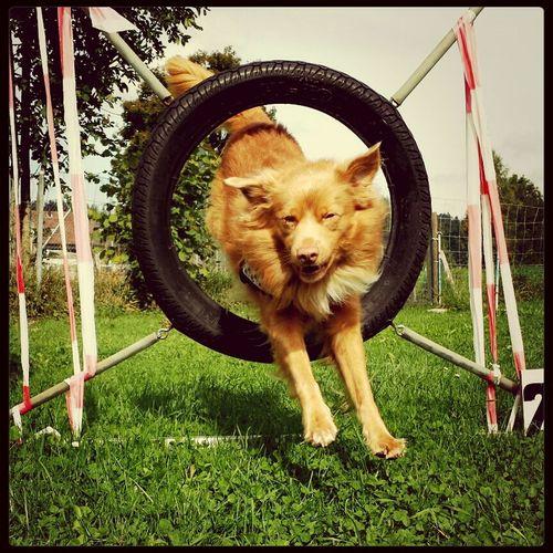 agility ✌ Dog Sport Agility Toller Novascotiaducktollingretriever