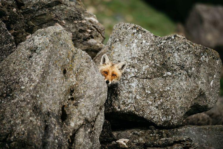 Portrait of fox amidst rocks