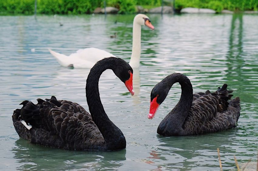 Swan Black Swan Animals In The Wild Lake Water Animal Themes Animal Wildlife Nature No People Outdoors Day